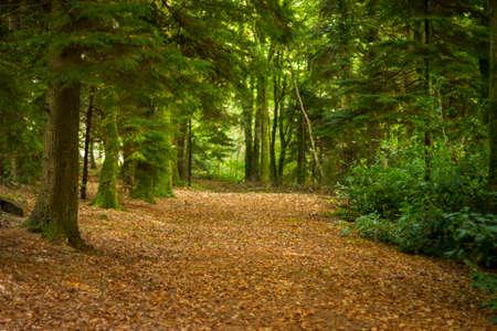dode bladeren: Path, bruin met dode bladeren, door een loofbos