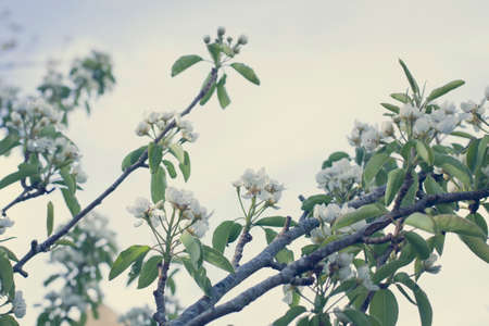 pear tree: Pear tree blossoms against the sky, vintage tones Stock Photo