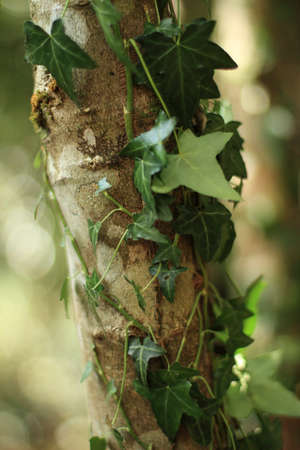 choking: Ivy wrappy around a young tree close up