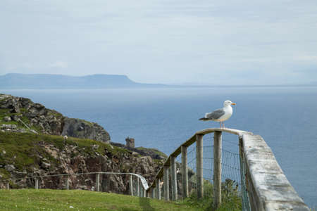 sligo: Seagull on a fence at Slieve League, the tower and Benbulbin in Sligo in the background. Stock Photo