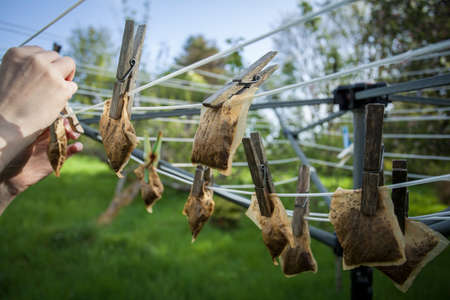 Hanging used teabags on the washing line Stock Photo