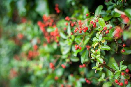 red berries: Winter red berries Stock Photo