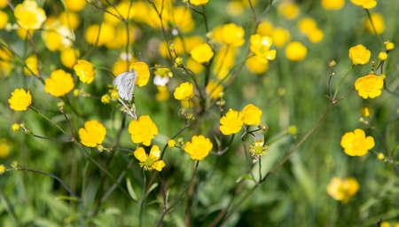buttercup flower: Butterfly on Buttercup Flower with grass.