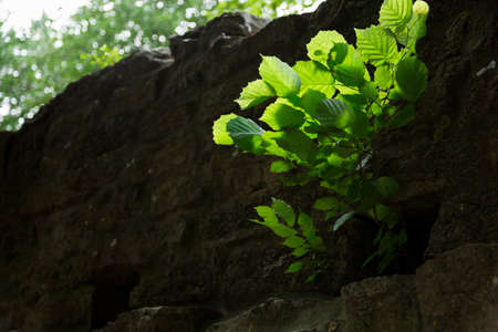 alder tree: Alder Tree Growing Through the Town wall in Visby, Gotland in Sweden Stock Photo