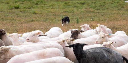 herding: Shepherds Dog Herding Sheep in field.