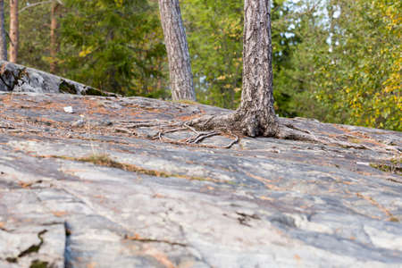 pin arbre: Pine Tree Growing on Rock Banque d'images