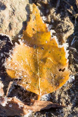 leaf close up: Frosty Birch Leaf close up