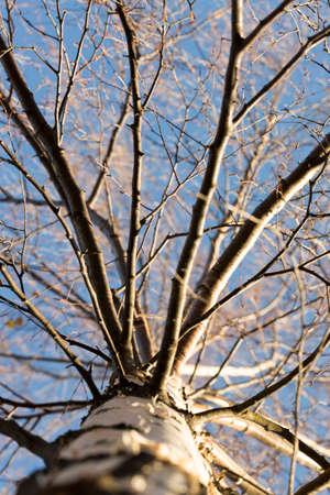 late: Inside Birch Tree Late Autumn