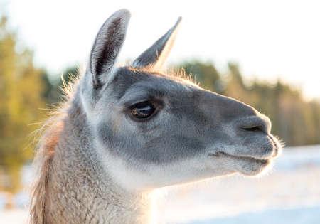 head close up: Llamas Head Close Up