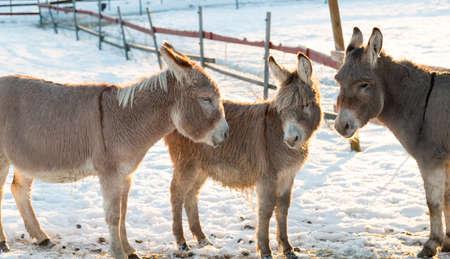 Three Donkeys in Winter