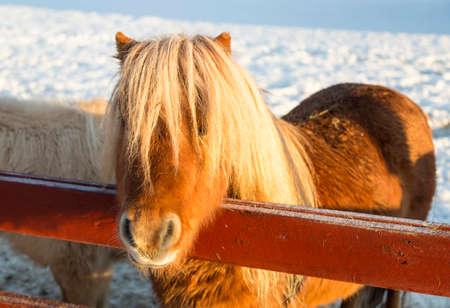 shetland pony: Brown Shetland Pony Stock Photo