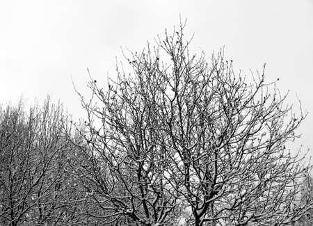 eberesche: Rowan Tree im Winter Lizenzfreie Bilder