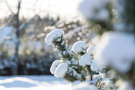 is covered: Snow Covered Spruce Twig close up