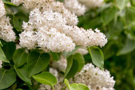 vulgaris: Syringa vulgaris Close Up with green leaves. Stock Photo