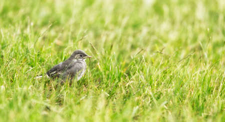 white wagtail: White wagtail Chick in grass.