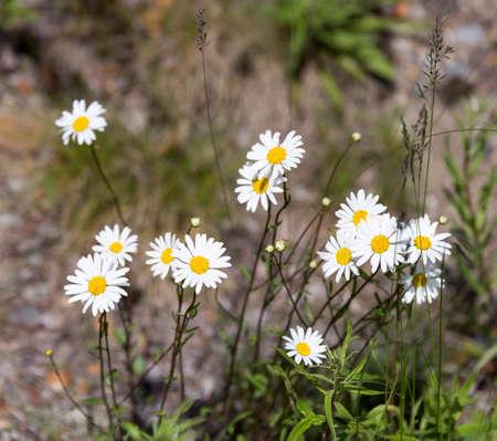 oxeye: Plenty of Ox-eye Daisy Flowers with green grass.