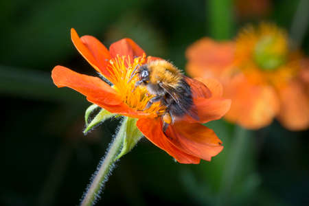 close up image: Bumble bee on orange flower close up image.