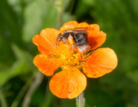bumble bee: Bumble Bee on Orange Flower with its Pollen Basket. Stock Photo