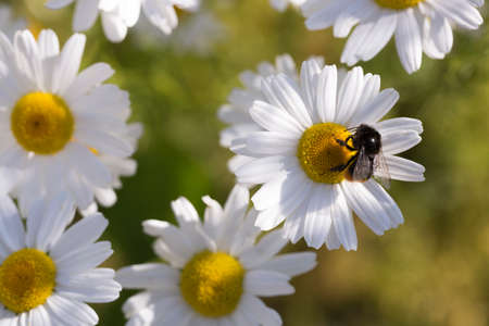 Oxeye Daisy with Bumble Bee close up. Stock Photo