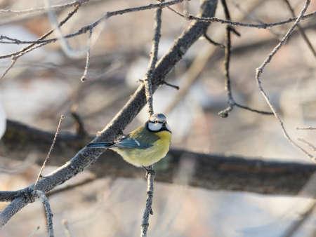 tit bird: Eurasian Blue Tit Bird on Branch close up. Stock Photo