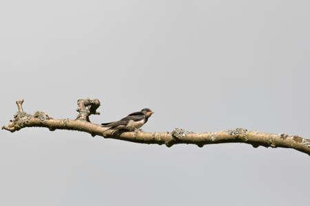 Juvenile Barn Swallow sitting on branch. Stock Photo