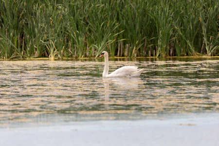 Mute Swan in Water with grass in the background. Stock Photo