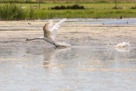Mute Swan Taking Off in Water with grass in the background.