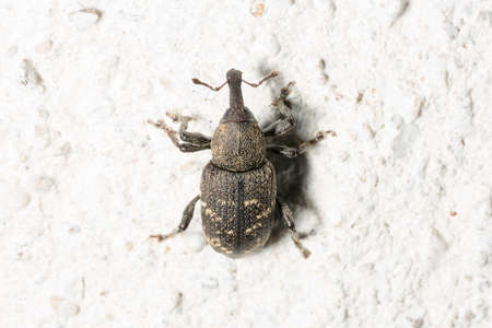 hylobius: Large Pine Weevil Close Up on stone floor.