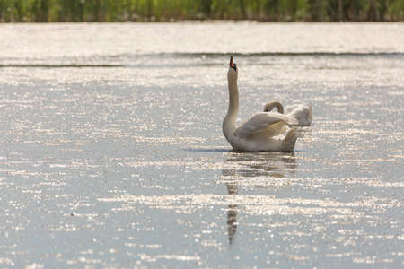 Mute Swan in Water Eating with grass in the background.