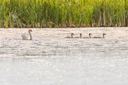 Mute Swans in Water with grass in the background. Stock Photo