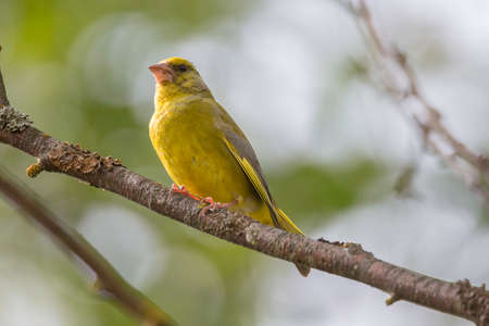 Male Greenfinch Sitting on Tree Branch. Stock Photo
