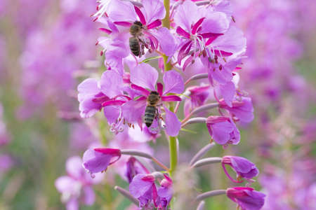 fireweed: Fireweed Flowers with Bee close up.