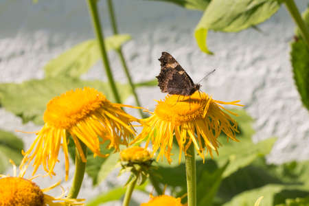 Small Tortoiseshell Butterfly sitting on yellow flower. Stock Photo