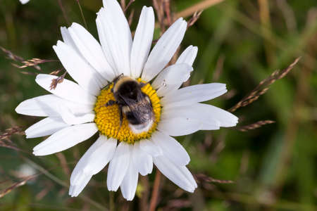Bumblebee on Oxeye Daisy Flower Close Up. Stock Photo