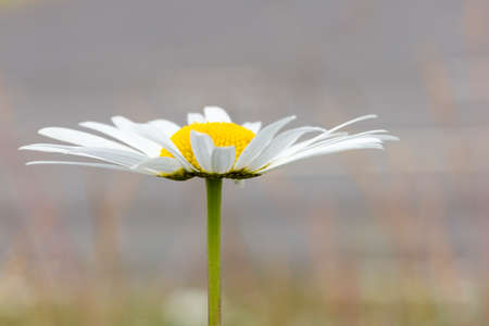 Oxeye Daisy Flower Close Up.