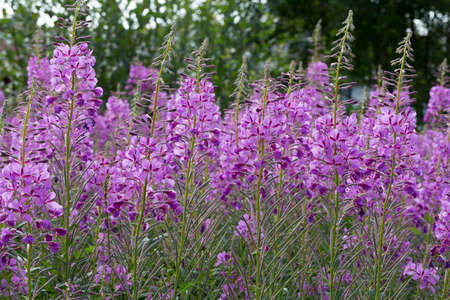 fireweed: Fireweed Flowers close up.