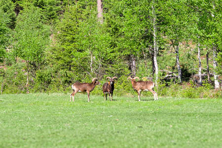 Three Mouflon on Green Grass with trees in the background. Stock Photo