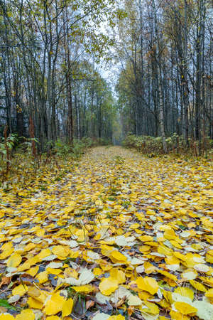 Forest Path Covered in Yellow Aspen Tree Leaves. 스톡 콘텐츠
