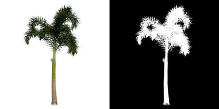 Front view of plant (Wodyeita Bifurcata Palm 2) tree png with alpha channel to cutout made with 3D render
