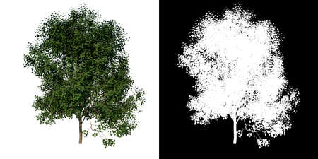 Front view of Tree (Adolescent Silver Linden 2) Plant png with alpha channel to cutout made with 3D render