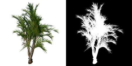Front view tree (Adolescent Butterfly Palm Areca tree 2) white background alpha png 3D Rendering 3D Illustration Stock fotó