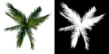 Top view tree (Young Coconut Tree Palm 3) white background alpha png 3D Rendering 3D Illustration