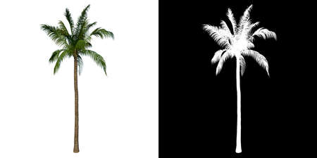 Front view tree (Coconut Tree Palm 1) white background alpha png 3D Rendering 3D Illustration