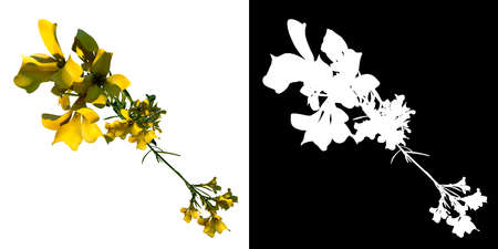 Top view of Plant (Bermuda Buttercup Oxalis pes-caprae 1) Tree png with alpha channel to cutout made with 3D render