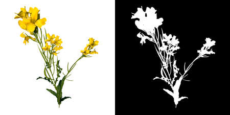 Front view of Plant (Bermuda Buttercup Oxalis pes-caprae 2) Tree png with alpha channel to cutout made with 3D render