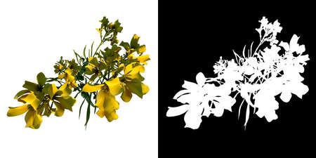 Top view of Plant (Bermuda Buttercup Oxalis pes-caprae 3) Tree png with alpha channel to cutout made with 3D render