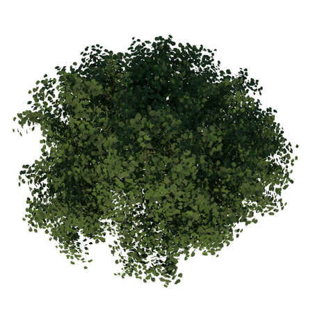 Top view of Tree (Young Silver Linden 3) Plant white background 3D Rendering 3D illustration