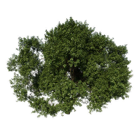 Front view tree (Adolescent Common Oak tree 3) white background 3D Rendering 3D illustration