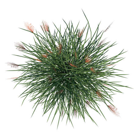 Top view of Plant (Vetiver Chrysopogon zizanioides) Tree white background 3D Rendering 3D illustration