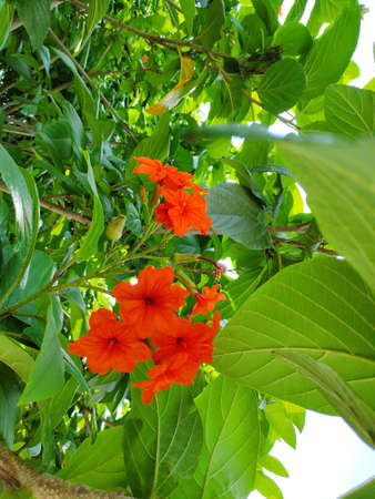 Cordia flowers can be used in all parts of the herb to treat intestinal diseases, gastritis and bronchitis. Banque d'images - 149581015